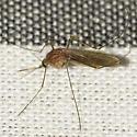 Mosquito - Culex - female