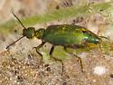 blister beetle - Lytta stygica