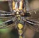 Odonata - Leucorrhinia