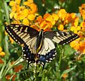 Anise Swallowtail? - Papilio zelicaon - female