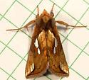 74 Plusia nichollae - No Common Name 8951 - Plusia nichollae