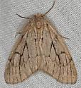 Moth - Nepytia swetti - male