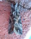 Ctenoplusia oxygramma
