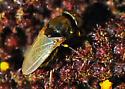 Small fly on encelia - Mosillus