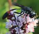 giant thread-waisted wasp - Ammophila procera