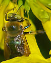 Xylocopa micans - male