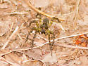 Buff and brown spider - Tigrosa