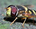 Syrphid  - Syrphus opinator