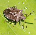 Shield Bug - Euschistus tristigmus