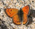 Lustrous Copper - Lycaena cupreus - male