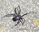Black Widow - Latrodectus hesperus - female