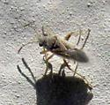Small brown bug - Nysius