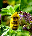 Is this bumble bee Bombus flavifrons? - Bombus flavifrons