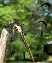 June Dragonfly 3 - Libellula incesta