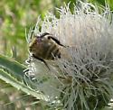 Wild Bee - Bombus appositus - female