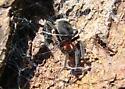 Velvety abdomen spider - Titanoeca nigrella