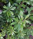 leaf mine