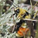 Bumble Bee - Bombus huntii - female