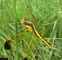 17th Dragon of the Season - Libellula flavida - female