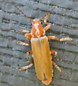 orange and orange beetle - Cantharis livida
