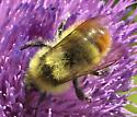 Bumble Bee  - Bombus centralis