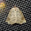 Thin-lined Owlet - Isogona tenuis