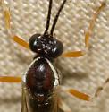 Ichneumonid - Glypta