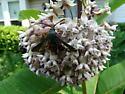 red pollinator - Melittia cucurbitae