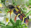 Trichodes peninsularis horni - Trichodes peninsularis