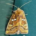 Bracken Borer Moth - Papaipema pterisii
