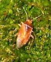 orange plant bug - Agnocoris rubicundus