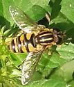 Helophilus sp.? - Helophilus fasciatus