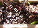 Striped and Spotted Lady Beetles - Paranaemia vittigera