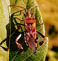 Is This a Seed Bug - Leptoglossus occidentalis