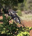 Cicada emergence - Hadoa duryi