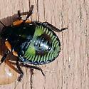 green and orange bug on exotic succulent - Chinavia hilaris