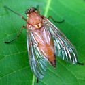 Snipe Fly - Rhagio