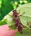 Longhorned beetle - Xylotrechus quadrimaculatus