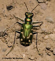 Tiger Beetle Cicindela sp. - Cicindela decemnotata