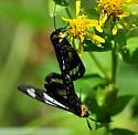 Police Car Moth, 8037 - Gnophaela vermiculata - male - female