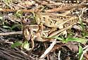 Mating Schistocerca - Schistocerca americana - male - female