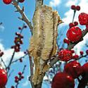 Ootheca - Tenodera angustipennis