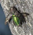 Chrysobothris sp. - Chrysobothris
