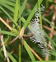 Banded Garden Spider - Argiope aurantia
