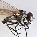 Root-Maggot Fly - Anthomyia - male