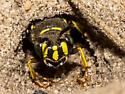 Ground Nesting Bee - Aphilanthops frigidus