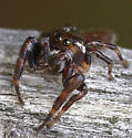 Jumping Spider - Eris - male