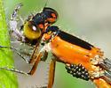 Damselfly with parasites - Ischnura ramburii - female