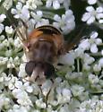 Syrphid on wild carrot - Eristalis arbustorum - female