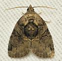Christmas ball moth - Pseudeustrotia indeterminata